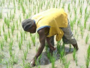 Gambia ist ein Agrarstaat. In Nähe des Flusses wird Reis angebaut.